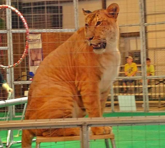 Ligers in Circus Shows