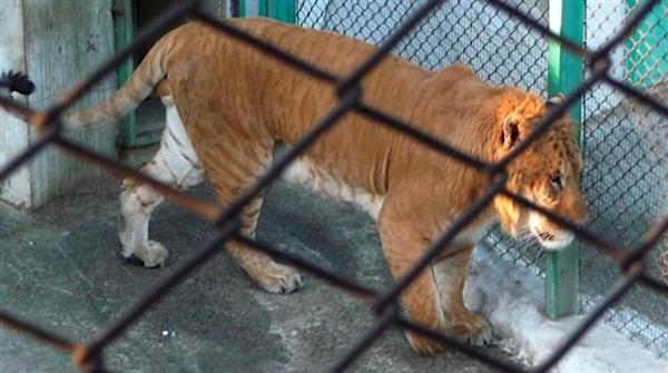 A Liger weighs around 900 Pounds.