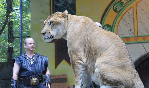 Ligers are the heaviest Big cats in terms of Weights. They can even weigh more than 1600 Pounds of weight too.