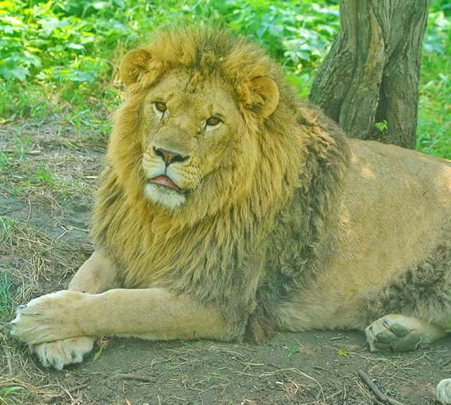 male lion weight - 640×576