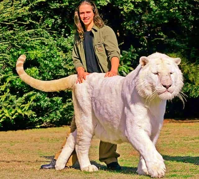 Guinness World Records The Worlds Largest Tiger | Gallery ...  |Biggest White Tiger In The World