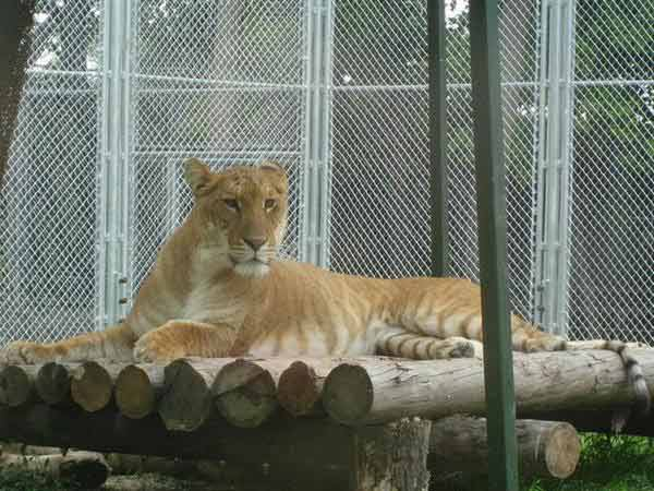 Liger Cub An An at Chinese Zoo in Hainan. An An is a brother of Ping Ping liger.