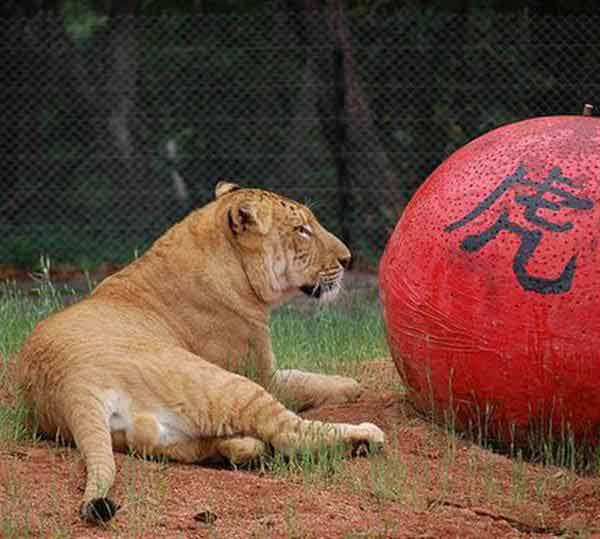 Liger Cub Ping Ping at Hainan Zoo in China.