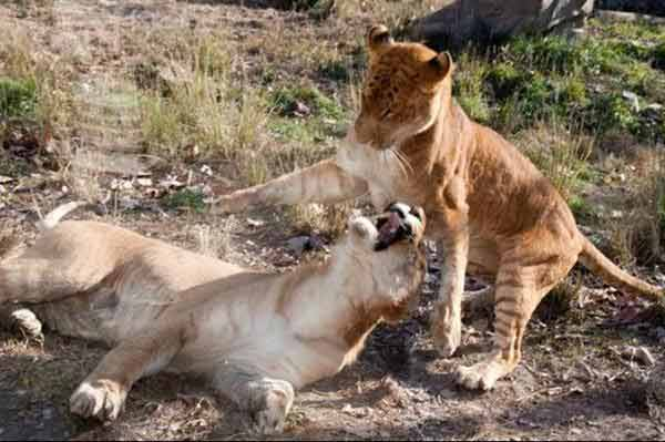 Liger Cubs in China Playing together at Hainan Zoo.