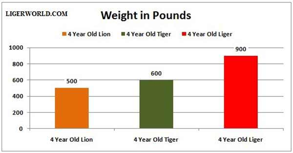 Liger 4 Year Old Weight and Growth.