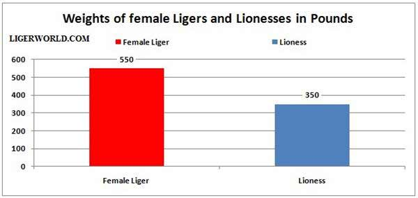 Female Ligers vs Lionesses - A Weigh Comparison.