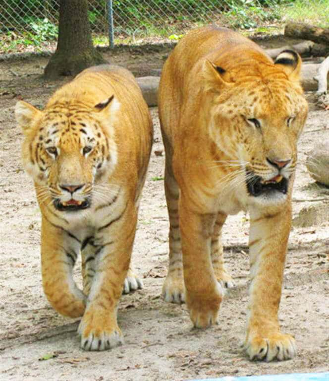Ligers are the biggest cats. Their weight is twice the weight of lions or tigers.