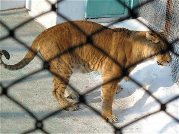 Liger in China behind the Cage. Ligers are living in Good Conditions in China.