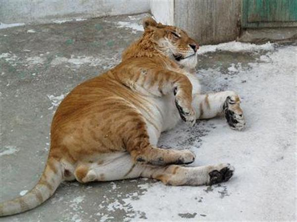 Liger of China playing on ice.