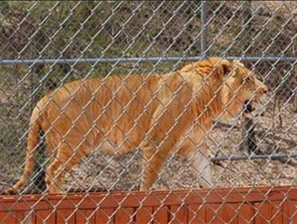 Liger Climbing up its house in an animal sanctuary to have better veiw. Ligers are bigger than saber toothed tigers.