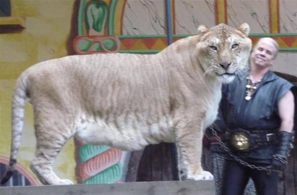 A Liger has a complete DNA.