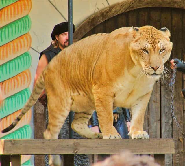 Image result for liger