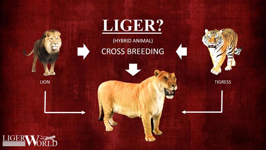 Facts about Cross breeding of male lion and female tigress.
