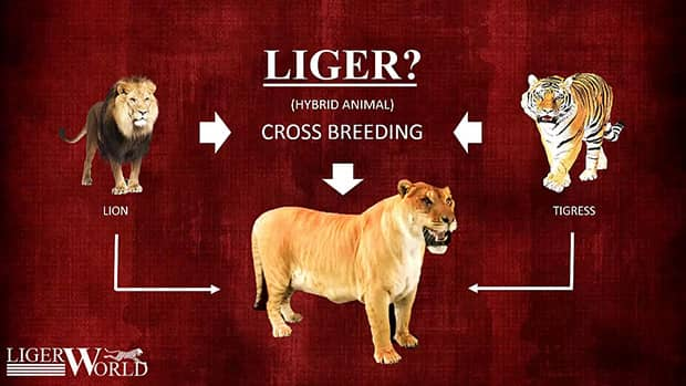 Liger is a result of cross-breeding male lion and a female tigress.