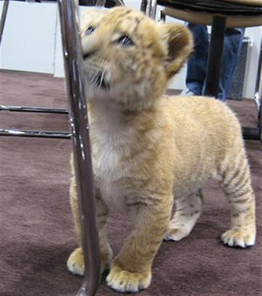 Liger Cub Playing in a room.