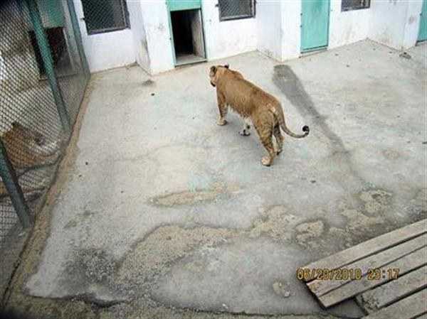 Liger female from China. Female Ligers are smaller in Size. China has a lot of ligers both male and female Ligers.