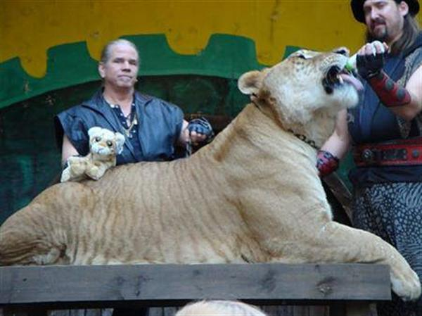 Liger Hercules with its Master Dr. Bhagvan Antle. This man Dr. Antle is a great expert of the Ligers.