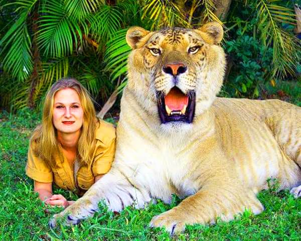 Liger = Crossbreeding Lion & Tigress