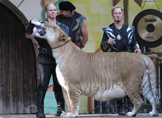 Hercules the Liger drinking milking