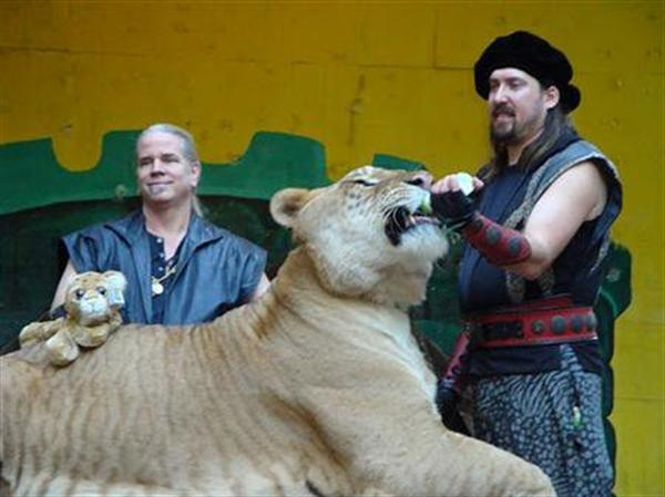Hercules the Lliger having milk feeding session at King Richards Faire in United States.