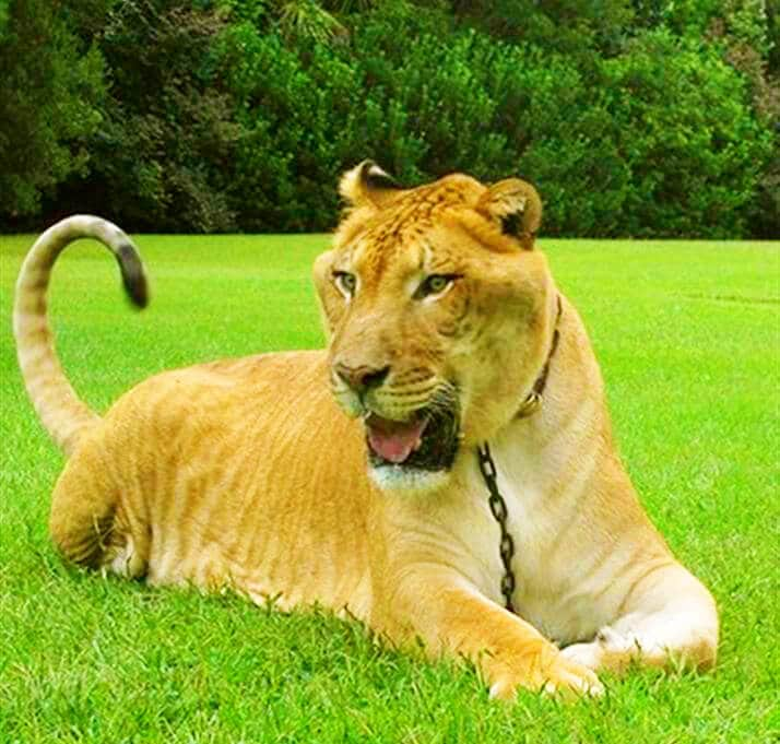 Liger - Hybrid Cross Breeding of a male lion and a female tigress.