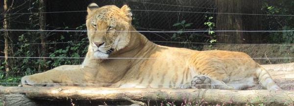 Liger in South Korea. Liger is Resting in sunshine.