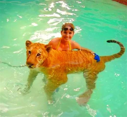 Ligers love to swim in the water and they are great swimmers.