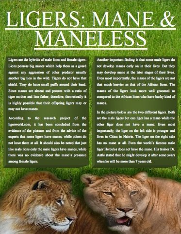 Liger Magazine Explores Mane and Mane-less Ligers.