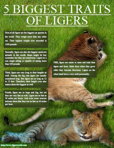 Ligers - 5 Biggest Traits of Ligers