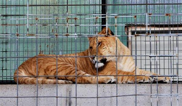 Liger Sitting Inside the Cage at a zoo.