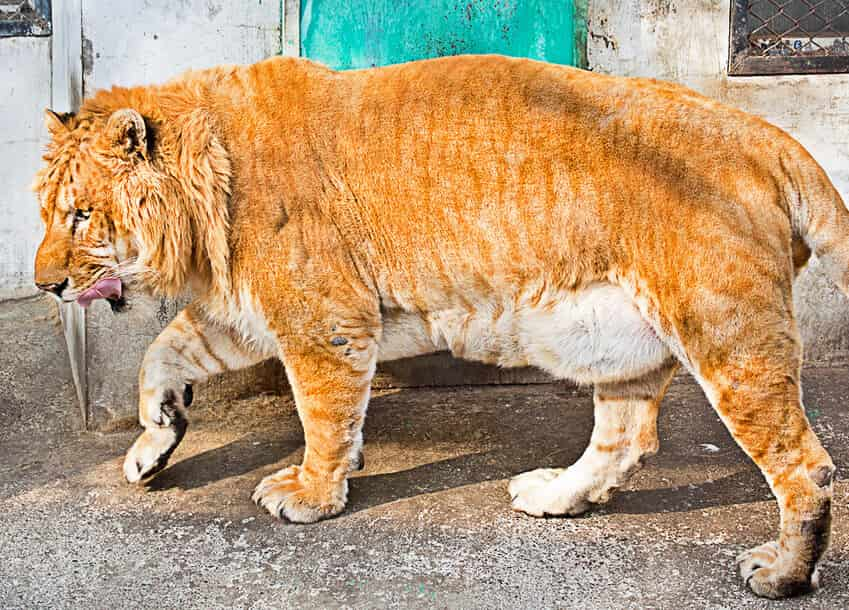 There are around 100 ligers worldwide with majority of the ligers living in United States and China.