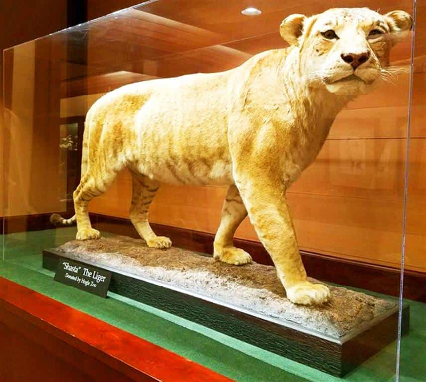 world largest lion ever recorded