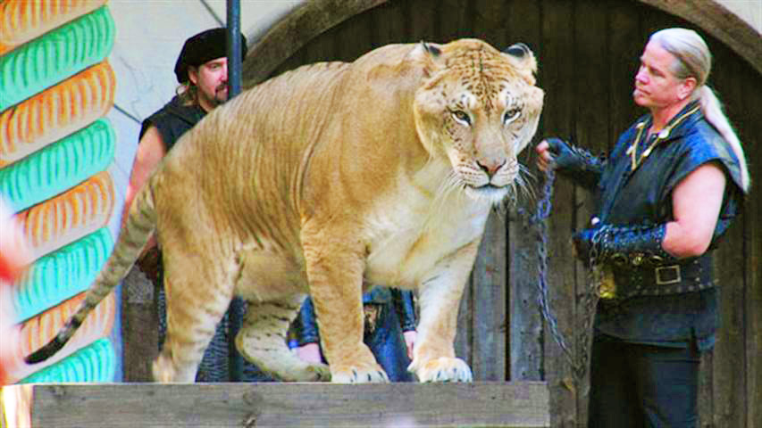 Liger Hercules Sitting on a Stole during King Richard's Faire Festival in United States