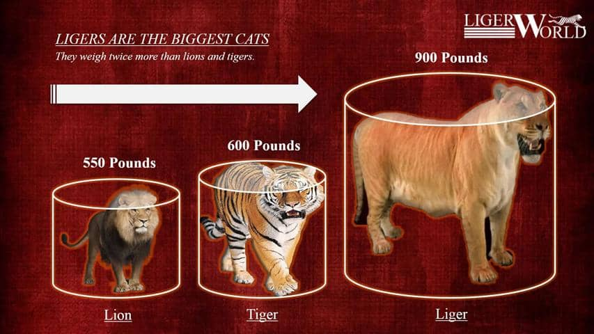 A Liger weighs around 900 pounds. Whereas; Lions and tigers weigh around 500 and 600 pounds.