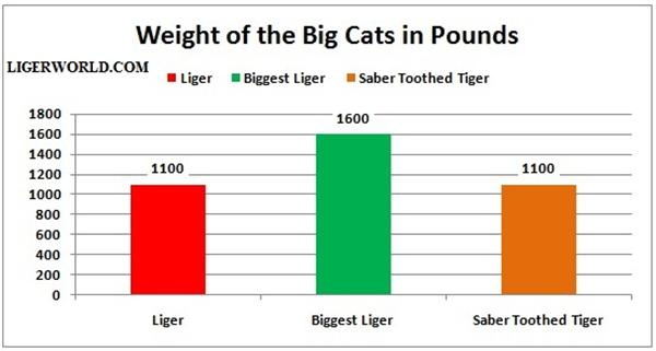 Sabertooth Tiger vs Bear http://ligerworld.com/liger-vs-saber-tooth-tiger.html