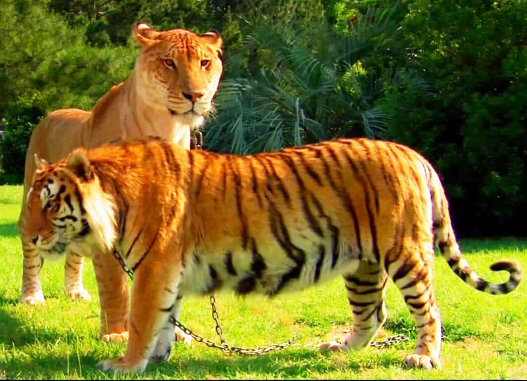 Appearance of a liger is closer to both lion and the tiger.