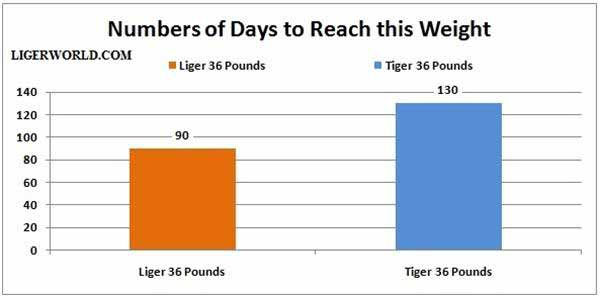 Ligers weight of 36 Pounds in Numbers of Days. A Comparison of Liger and Tiger.