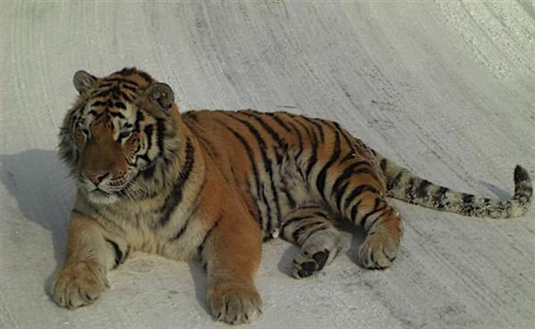 Stripes of a Siberian tiger