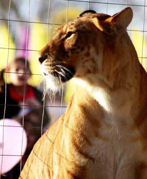 Liger Ariana lived 16 years.