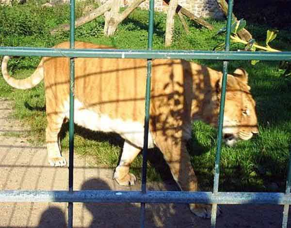 German Ligers ages are more than 15 years.