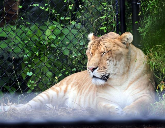Ligers are healthy according to Dr. Bhagavan Antle.