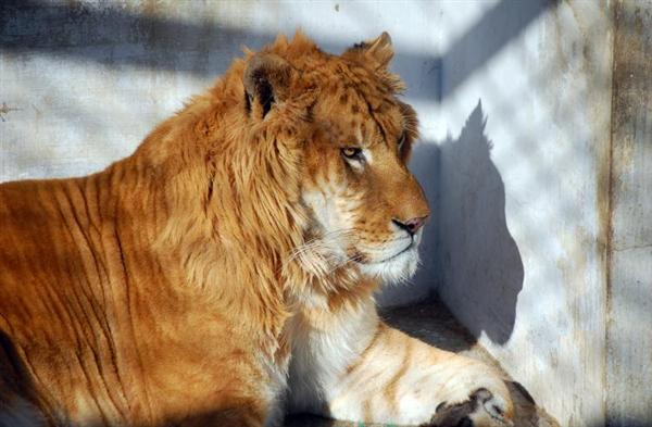 Liger with a Mane. Ligers have Thick Mane on some Occasions.