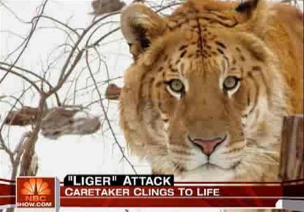 Liger also Resemble like Tigers. Rocky the liger and Radar the liger both resembled just like Tigers from their face.