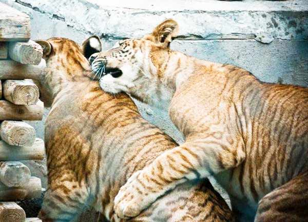 Liger Cubs are very playful and Socialize.