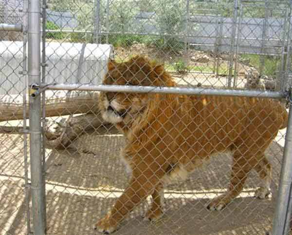 Mature Ligers are less territorial.