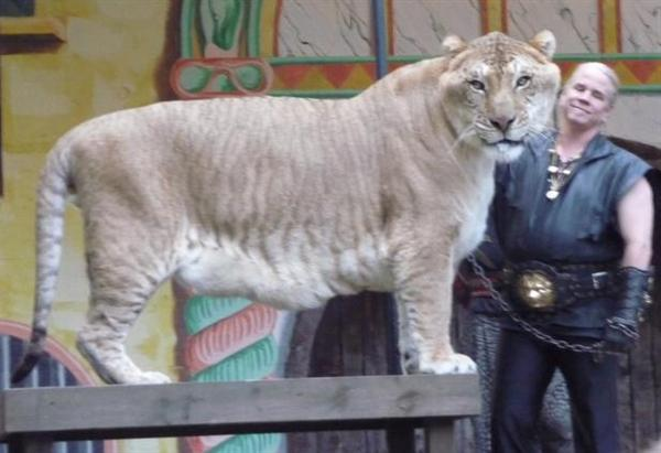 Liger Hercules is biggest with 900 Pounds of Weight.