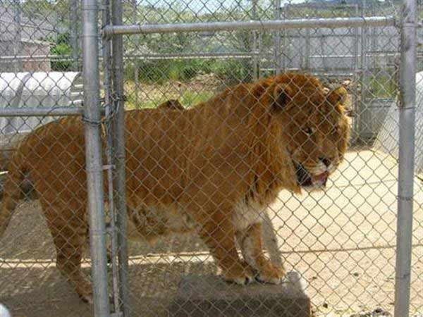 Liger Hobbs was biggest with 1200 Pounds Weight. Hobbs was a very famous liger at Sierra Zoo.