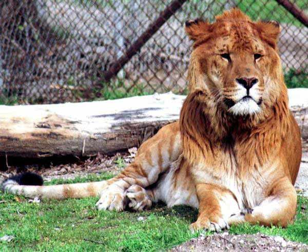 Liger Patrick was biggest with 800 Pounds. Patrick was one of the biggest ligers in the world.