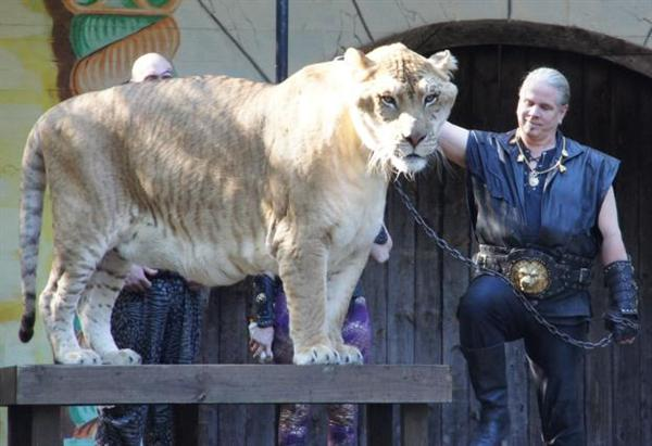 A Liger can Sustain body Pressure.
