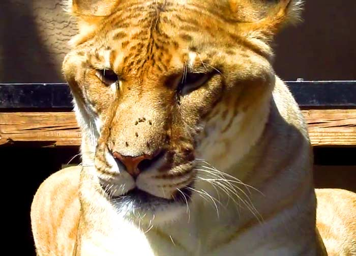 Liger breeding for big cat conservation.
